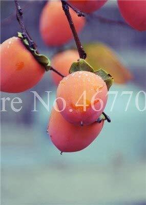 Las semillas exóticas 30pcs / Bolsa Caqui de frutas al aire no GMO jugosas semillas Diospyros kaki Fruta Semillas Una flor del jardín: 1