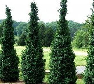 DAS FARMS Nursery Dee Runk Boxwood - 8 Live Plants $6 Each, 3