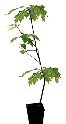 Seedeo® Sumpf-Eiche (Quercus palustris) Pflanze ca. 30 cm - 50 cm hoch