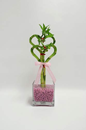 Athena's Garden BA-HS0810SQ4PRL Double Heart Bamboo Indoor Green Plant, One Size, Clear Vase and Lavender Pink Rocks
