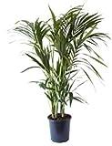 Planta de interior de Botanicly – Kentia – Altura: 125 cm – Howea Forsteriana