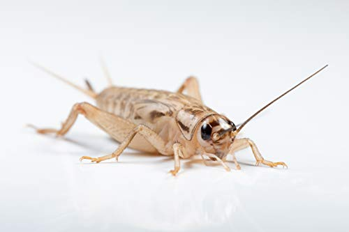1000 crickets large - 9
