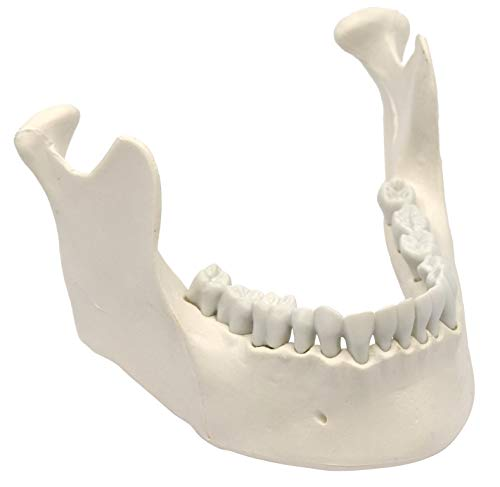 Mandible & Lower Jaw Model with 16 Teeth - Anatomically Accurate Human Bone Replica - Natural Size,...