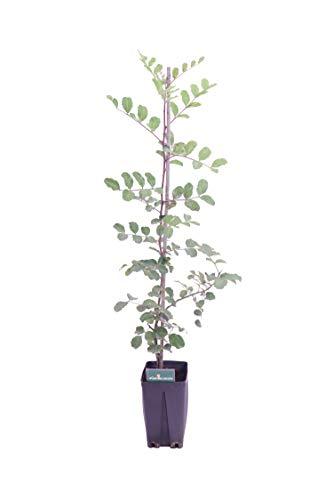 Albero di Carrubo pianta di Carrube Ceratonia Siliqua Età 2 anni pianta in vaso di carrubo pianta vera di carrube venduta da eGarden.store