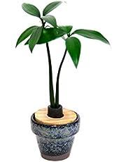 日本古来の植物 「ご神木 梛 (なぎ) の木」もしくは「槇(マキ)の木」と「うさぎ庵特性 豆鉢」【土なし 清潔 水やり簡単 セラハイト】