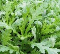 Just Seed Chopsuey verts???Chrysanth?me Coronaria???1000?graines