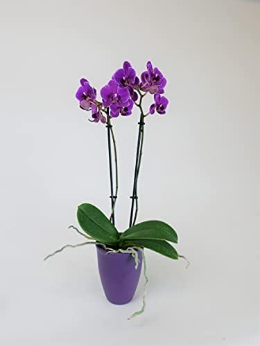 Athena's Garden OP-PP175CP Indoor Garden Orchid Plants, Purple Blooms