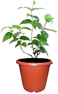 Pankaj Nursery Parijaat/harsingar Live Plant Pack of 1