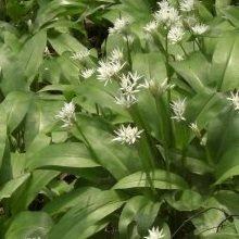 JustSeed Wilder Knoblauch/Bärlauch/Allium ursinum, Britische Wildblume, zum Verzehr geeignet, 100Samen