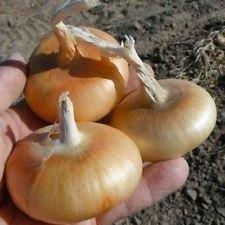 Cipollini semences d'oignon jaune, (2000 graines) oignon gourmet italien jaune aplatis