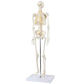 Best skeleton models Reviews