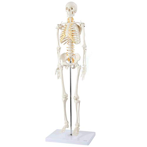Axis Scientific Mini Human Skeleton Model with Metal Stand, 31' Tall with Removable Arms and Legs, Easy to Assemble, Includes Detailed Product Manual for Study, Worry Free 3 Year Warranty