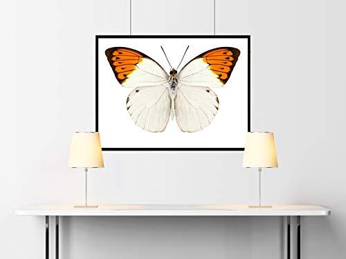 Fotografias de mariposas Hebomoia glaucippe- butterfly photography Papel Fotográfico 36x24 Inches