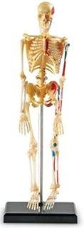 Learning Resources Human Skeleton Anatomy Model