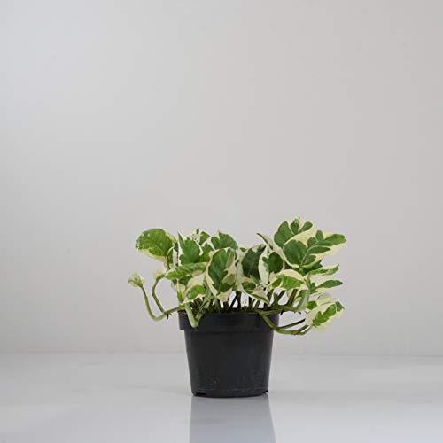 Indoor-Helden Efeutute Epipremnum pinnatum \'N-Joy\' - Zimmerpflanze rankend