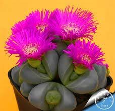 Big Sale! 10pcs / Lot cactus Rebutia variété floraison couleur cactus rare bureau de graines mini-plante succulente, # XNOLTT