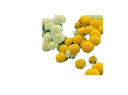 KINGDUO 100 Pcs Jardín Allium Gigante Al Aire Libre Giganteum Bella Flor Semillas Bonsai Planta Semillas-1