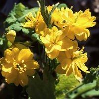 JustSeed Schöllkraut/Chelidonium majus fl. pl, Blume, große Packung, 400Samen