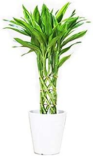 ミリオンバンブー ホワイトセラアート鉢 観葉植物 インテリア 中型 ミニ ラッキーバンブー 幸運の竹