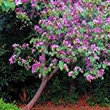 Purple Orchid Graines Arbre (Bauhinia purpurea) 5 + Graines (5+)