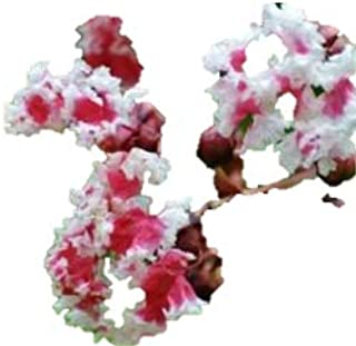 """Peppermint Lace Crape Myrtle Lagerstroemia indica """"Nana"""" 5"""