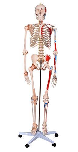 Menschlisches Skelett lebensgroß mit Muskeln und Bändern, menschliches Anatomie-Modell