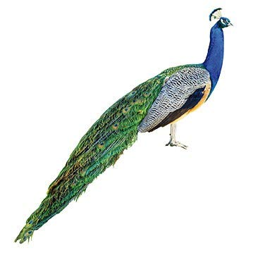 Apalis Wandtattoo Pfau Wandsticker Vogel Tier Fauna Bunt Federn 60 x 56 cm