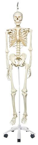 3B Scientific Menschliche Anatomie Skelett Stan - Das klassische Skelett an Metallhängestativ - Lebensgroß, inkl. kostenloser Anatomiesoftware - A10/1 als Lernmodell oder Lehrmittel - 3B Smart Anatomy