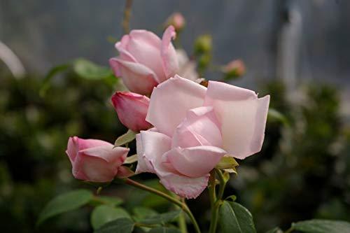 Kletterrose New Dawn® - Rosa New Dawn® - pastellrosa - Duft++++ - Ramblerrose - Weltrose