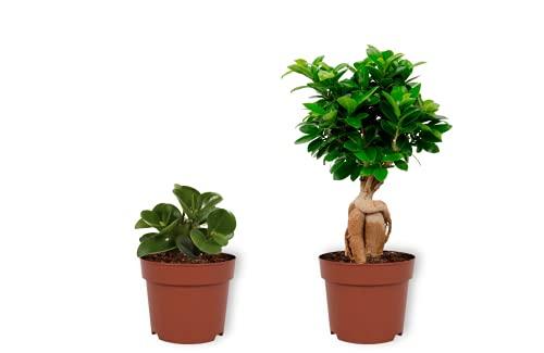 Juego de 2 plantas de interior – Peperomia Green Gold & Ficus Ginseng – Planta interior en maceta – Altura +/- 25 cm incluida maceta – 12 cm de diámetro – Plantas reales purificadoras de aire
