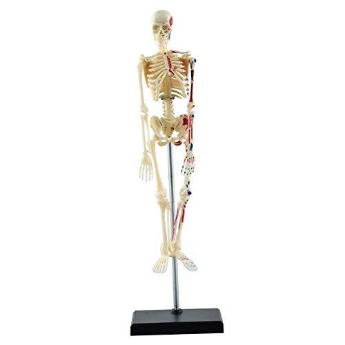 Menschliches Organ-Modell 85CM Menschliches Skelett Anatomisches Modell bemalt und nummeriert Muskelansatz und Herkunft Punkte Geeignet for Secondary School Medical College Medizinisches Organmodell