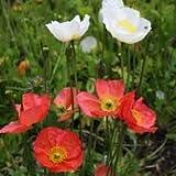 Alick 20 semillas de flor de amapola