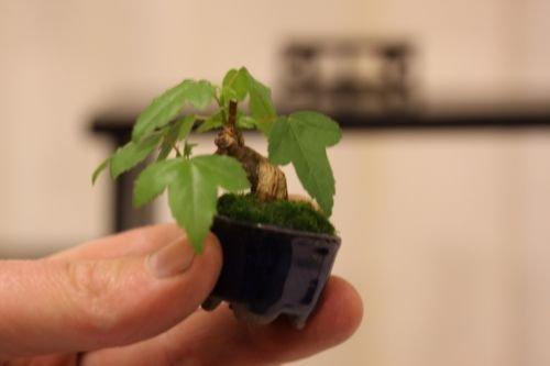 25 semillas Trident Maple Acer buergerianum Bonsai del paisaje