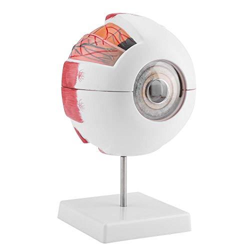 6x Vergrößerung menschlichen Auge Ball Anatomie Modell anatomischen lernen Display Tools