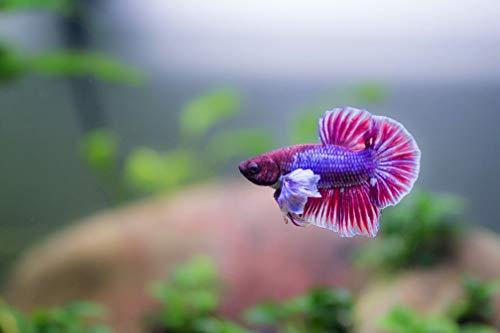 【熱帯魚・ベタ】 PKダンボ・ベタ オス 色おまかせ ■サイズ:アダルト (4匹)