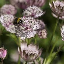 100 / Graines Pincushion Flower Bag Astrantia Seeds Garden Bonsai Seed Ruby Nuage de Hattie Paquet professionnel