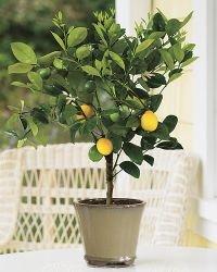3-4 Year Old Meyer Lemon Tree in Grower's Pot