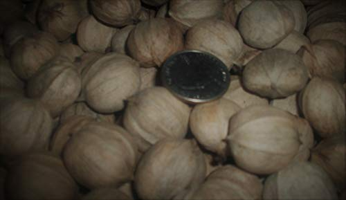Best hickory nut