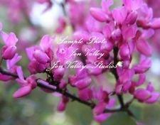 Ouest Redbud Cercis occidentalis Graines Bonsai et plate-forme Tropical Gardens Rose