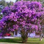 Lj4S - Lilas Des Indes Violet -18°C