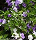 Elitely Bonsai-Samen Brunfelsia Pauciflora Floribunda Gestern heute morgen Standard (10), Bonsai-Samen