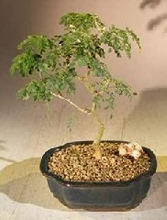 Flowering Brazilian Raintree Bonsai Tree - Small (pithecellobium tortum)