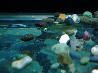熱帯魚 アフリカンランプアイ5匹プラスおまけ2匹 計7匹(保証有) 【こだわりの生体をお届けします 名生園】