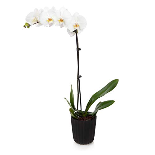 "Just Add Ice J-420 Orchid Easy Care Live Plants, 5"" Diameter, White"