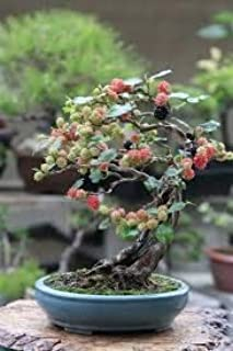 bonsai tree apple
