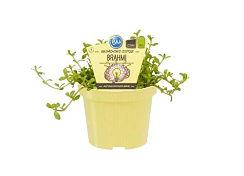 Bio Bio Gedächtnis-Stütze Brahmi (Bacopa monnieri), Kräuter Pflanzen aus nachhaltigem Anbau