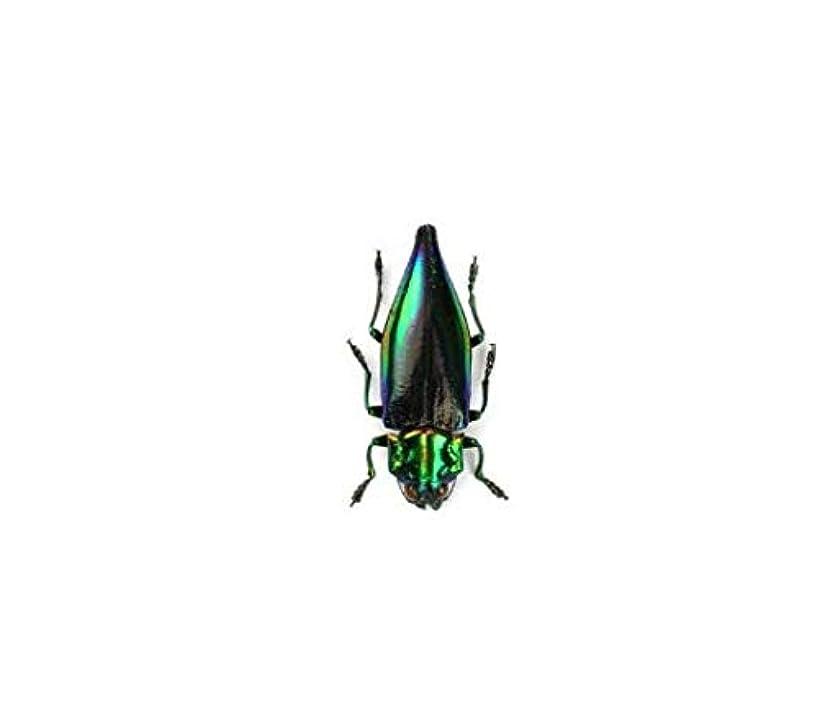 Rainbow Jewel Beetle (Cyphogastra calepyga) Dried Insect Specimen