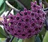 ASTONISH SEEDS: Hoya carnosa Sky - hindú - Plant -...