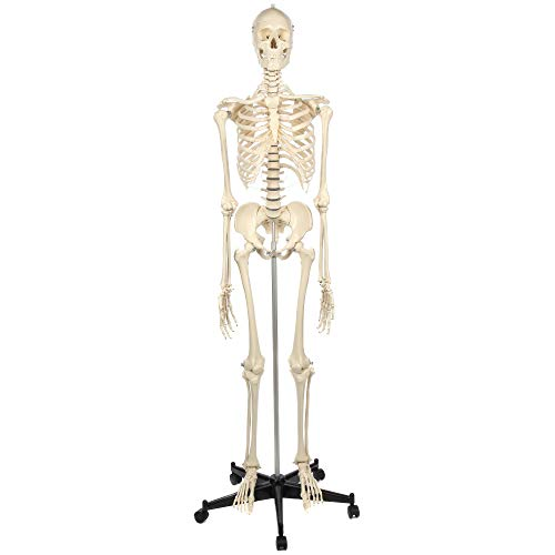 Rudiger Anatomie Human Skeleton Model Anatomy Bundle, 5' 7' Life Size Male Skeletal System, 206 Bones, Removable Skull with 26 Removable Teeth, Adjustable Rolling Stand, Dust Cover and Worry Free 5 Year Warranty