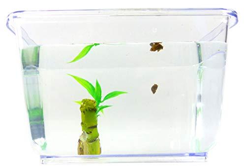 Evil Wear Schnecken-Set Mini Spitzhorn Schnecke braun mit Pflanze und Aquarium Einsteiger Starter Set (2Stk Mini Teufel?)